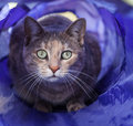 Tortoiseshell cat staring out of cat tunnel sitting in a blue looking at the camera Stock Photography