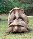 Tortue de Mauritius.Big Seychelles. Fin vers le haut Image stock