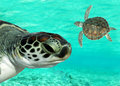 Tortues de mer nageant Photographie stock