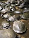 Tortuga amazónica Imagenes de archivo