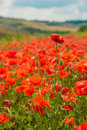 Toscana's poppies Royalty Free Stock Photo