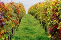 Toscana vineyards italy grape harvest nature Stock Photography