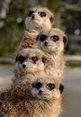 A totem of Meerkats Royalty Free Stock Photo