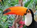 Toucan bird Royalty Free Stock Photography