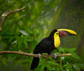 Toucan bird on limb Stock Photos