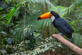 Toucan Bird In A Tree Branch A...