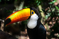 Toucan a head with his big beak Royalty Free Stock Image