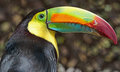 Toucan Royalty Free Stock Photo