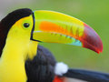 Toucan keel billed toucan from central america colored macro Royalty Free Stock Photography
