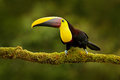 Toucan in the nature. Back sun light. Chesnut-mandibled Toucan sitting on the branch in tropical rain with green jungle background Royalty Free Stock Photo