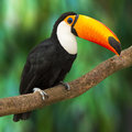 Toucan ramphastos toco sitting on tree branch in tropical forest or jungle Stock Image