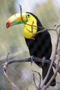 Toucan a showcases its vibrant colors Stock Photography