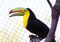 Toucan a showcases its vibrant colors Royalty Free Stock Images