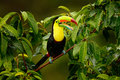 Toucan sitting on the branch in the forest, Boca Tapada, green vegetation, Costa Rica. Nature travel in central America. Keel-bill Royalty Free Stock Photo
