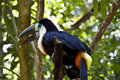 Toucan sitting in a tree Stock Images