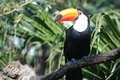 Toucan watching southeast Royalty Free Stock Images