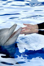 Touching a Dolphin in Blue Water Royalty Free Stock Photos
