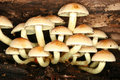 Touffe de soufre (fasciculare de Hypholoma) Photo stock