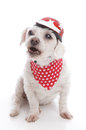 Tough biker dog barking wearing a red motorcycle helmet and bandana orders or being menacing white background Royalty Free Stock Photo
