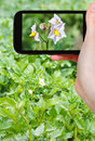 Tourist photographs of potato flowers on field Royalty Free Stock Photo
