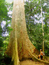 Tourist standing near giant tree taman negara national park ma malaysia Stock Image
