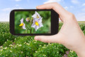 Tourist takes picture of potato flowers at field Royalty Free Stock Photo