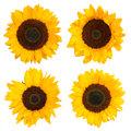 Tournesols d isolement sur le blanc Photographie stock