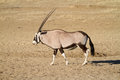 Touro do Gemsbok Imagem de Stock