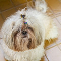 Tousled cute shi tzu puppy dog portrait lying on the floor really hairy and close up Royalty Free Stock Photography