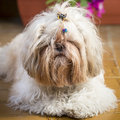 Tousled cute shi tzu puppy dog portrait lying on the floor really hairy and close up Royalty Free Stock Photo