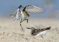 Tow little stints fight stint on shore Royalty Free Stock Photography