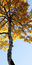 Towering autumn tree Royalty Free Stock Images