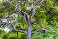 Towering branches of hybrid live oak tree named quercus x chasei Royalty Free Stock Photo