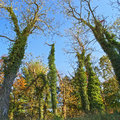 Towering ivy tall trees covered in along a roadside in englishtown new jersey Stock Photography