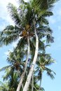 Towering palm trees on a tropical beach Royalty Free Stock Photography
