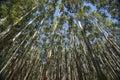 Towering trees hamakua coast eucalyptus trees and converging on the hawaii Stock Photography