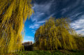 Towering Weeping Willow Trees ...