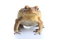 Toxic cane toad bufo marinus also known as a giant neotropical or marine native to central and south america but an introduced Stock Image