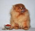 Toy  Dog, Charles Puppy, Pomeranian Spitz German miniature , Royalty Free Stock Photo
