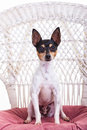 Toy fox terrier studio portrait Royalty Free Stock Photography