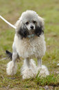 Toy poodle Stock Photos