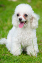 Toy poodle dog Royalty Free Stock Image