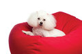 Toy Poodle Dog on Red Beanbag Stock Images