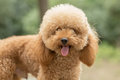 Toy Poodle On Grassy Field Royalty Free Stock Photo