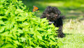 Toy poodle pup and butterfly. Royalty Free Stock Images
