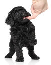 Toy Poodle Puppy over white background Royalty Free Stock Image