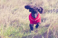Toy poodle running Stock Image
