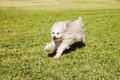 Toy poodle running happily grass park Stock Image