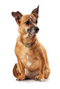 Toy terrier Royalty Free Stock Photo