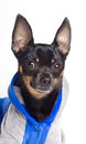 Toy terrier dog Royalty Free Stock Photos